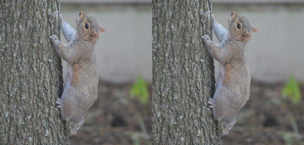 Side by side comparison of the Pale Tailless Squirrel and the Sathar Poison Squirrel showing the faint strip down the back of the latter.